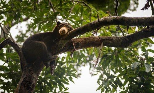 Orso nero su un albero mentre riposa