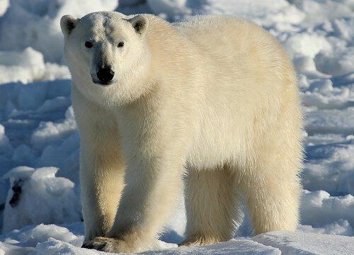 Orso polare in piedi tra i ghiacci