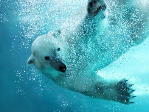 Un orso polare mentre nuota con le zampe aperte