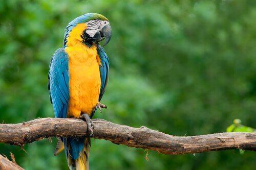Pappagallo ara giallo e blu si riposa su un ramo