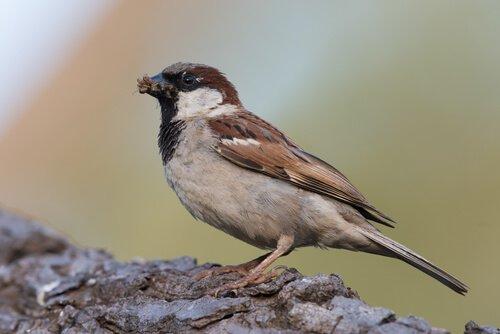 Cosa sapere sul bellissimo passero domestico