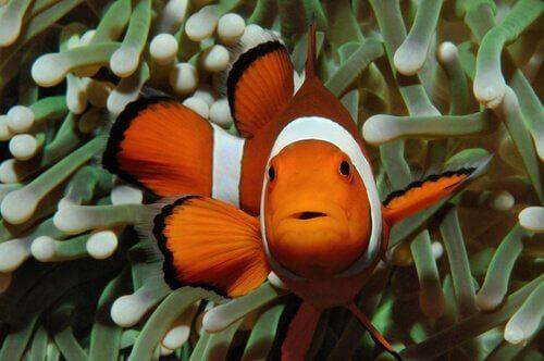 Pesce pagliaccio tra i tentacoli di un anemone