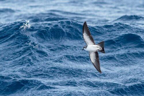 Petrel di Madera vola sul mare in cerca di pesci