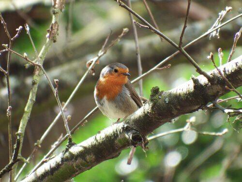 Il pettirosso: un uccello con carisma