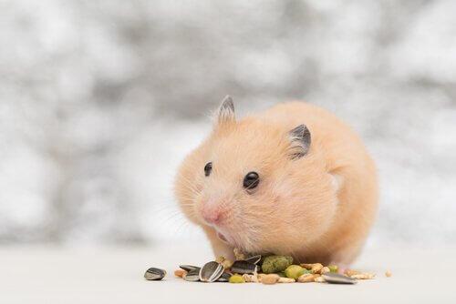 Criceto mangia alcuni semi