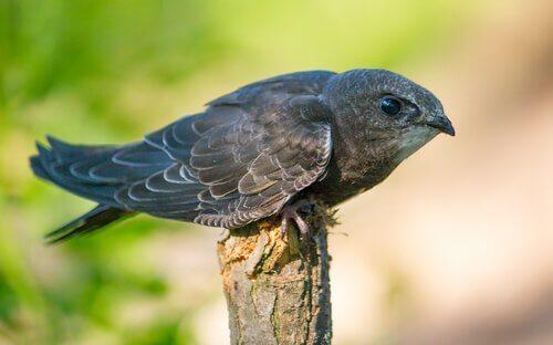 Rondone: un uccello migratore piccolo ma velocissimo