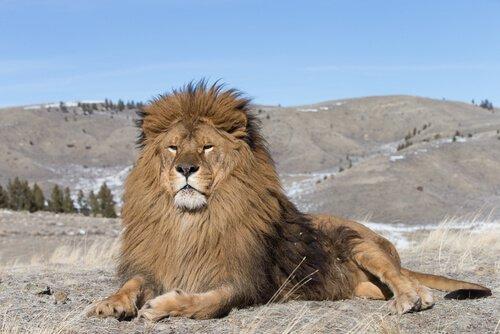 Possente leone si riposa tra le dune