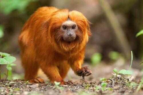 Grande scimmia leonina