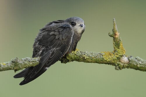 Sapevate che c'è un uccello che dorme mentre vola?