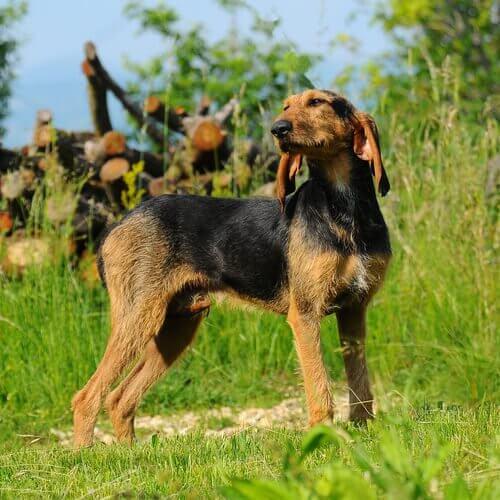 Il segugio italiano, un cane da caccia eccezionale