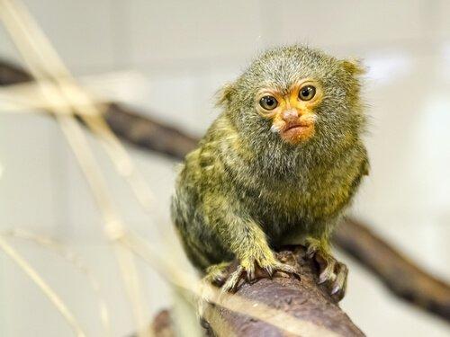 I 5 primati più piccoli del mondo
