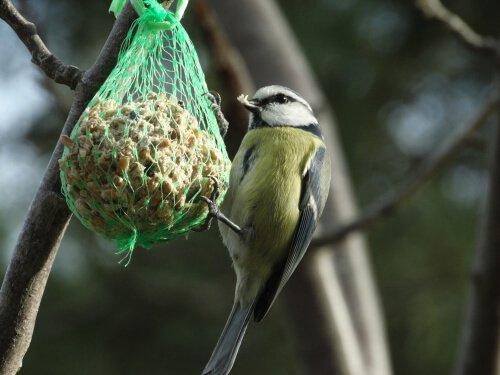 un uccellino mangia da un grappolo di semetti
