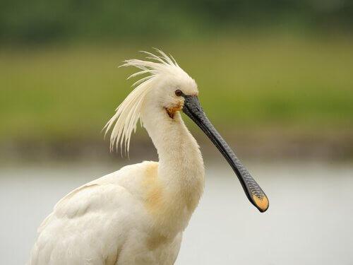 un uccello Spatola bianca col suo becco piatto
