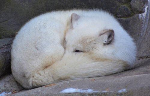 una Volpe artica dorme coprendosi il naso con la coda