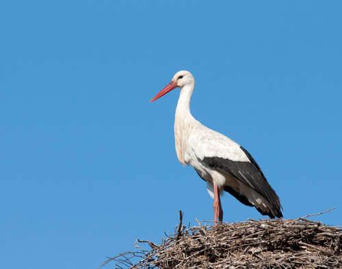 Cicogna in piedi sul suo nido