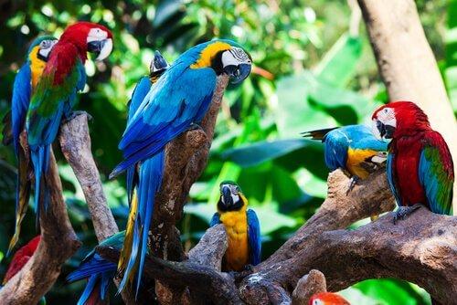 Pappagalli amazzonici