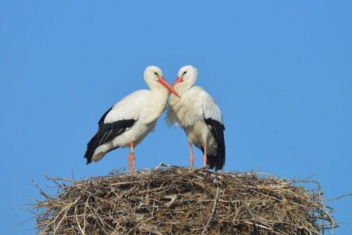 Cicogna: un uccello con un forte istinto materno
