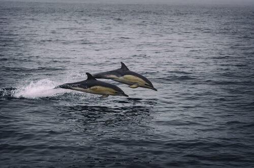 Delfini oceanici