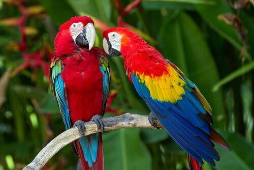 Coppia di pappagalli della specie ara scarlatta