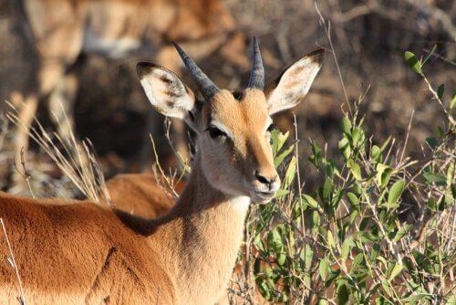 una femmina di Impala in un territorio con piante grasse