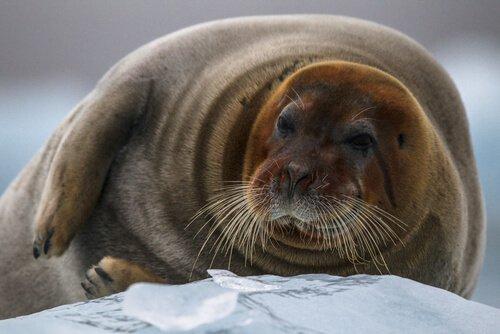 una foca barbata sdraiata su un fianco