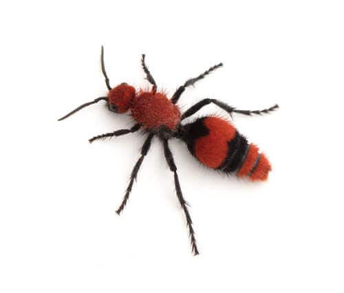 Formica di velluto rosso