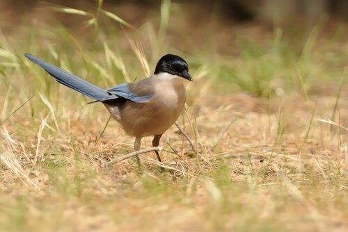 Gazza iberica: caratteristiche, comportamento e habitat