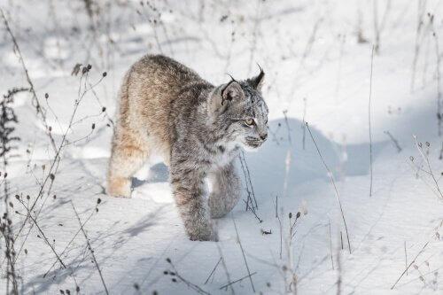 una lince del canada cammina sulla neve
