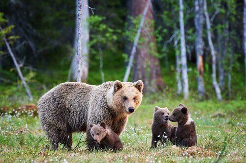 Mamma di orso Grizzly con tre cuccioli