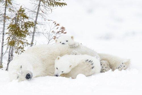 Mamma orsa distesa con due cuccioli