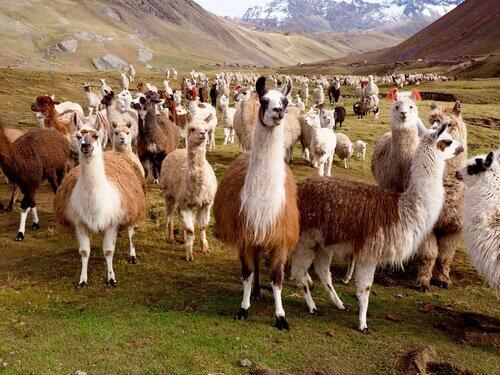 Quali sono le differenze tra lama e alpaca?