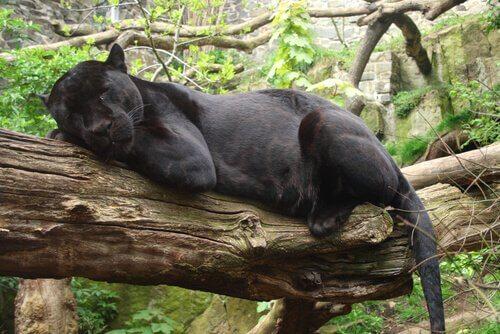 Pantera nera riposa su un ramo