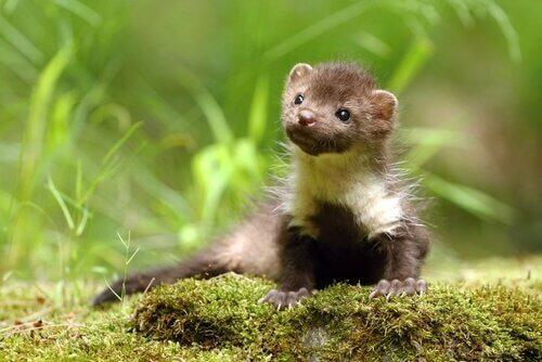 una piccola Faina seduta sull'erba guarda in alto