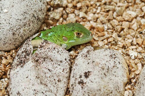 una piccola iguana esce da un uovo