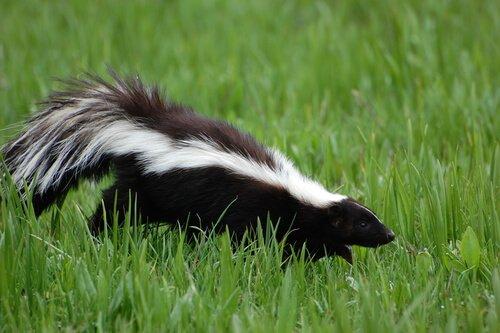 Puzzola cammina nell'erba alta