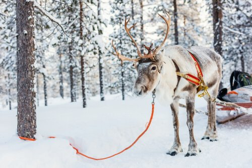 Una renna legata a un albero nella neve