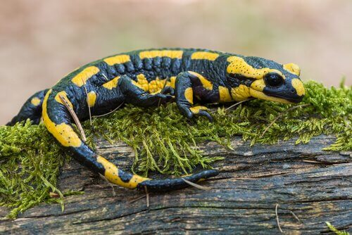 Salamandra dal tipico colore gialloblu sull'erba