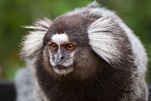 Scimmia titi vista da vicino
