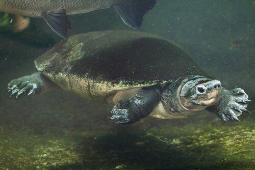 Tartaruga gigante malese mentre nuota