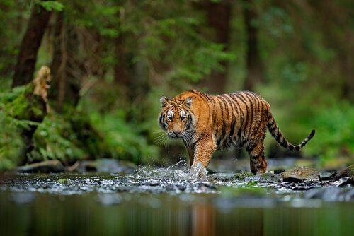 Tigre del bengala cammina in un corso d'acqua