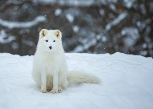 una volpe artica seduta sulla neve