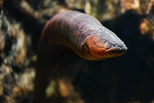 Anguilla: conosciamo meglio questo pesce temuto
