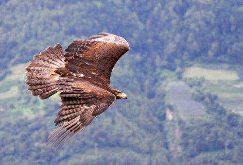 Aquila reale vola sopra una foresta