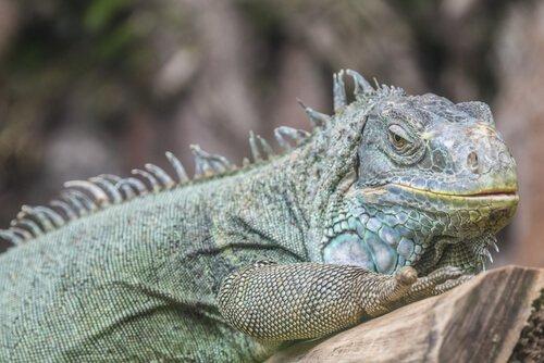 un'iguana verde si riposa su un ramo