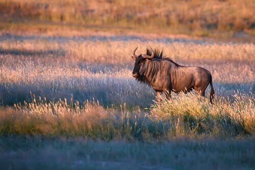 Gnu africano al tramonto nella savana