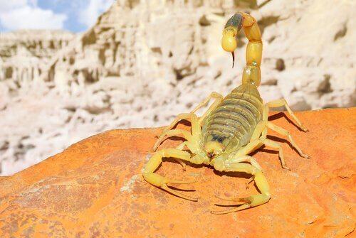 Scorpione giallo