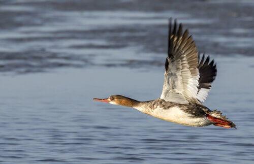 Smergo minore decolla sull'acqua di un lago