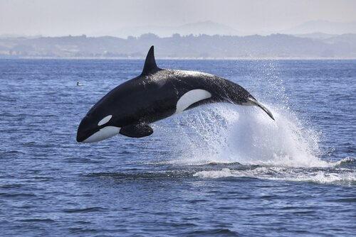 Orca assassina salta tra i flutti marini