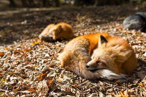 Volpi dormono nel bosco
