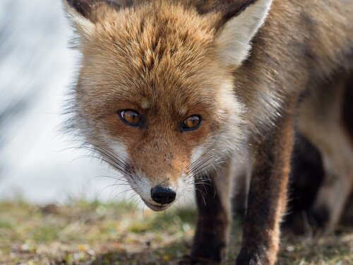 La volpe rossa